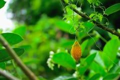 La calabaza amarga es una planta bienal que es cuidado crecido y fácil de utilizar, barato Imagen de archivo libre de regalías