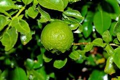 La calce che fa il giardinaggio, calce del Kaffir del Kaffir fruttifica con goccia di acqua su tre Fotografia Stock Libera da Diritti