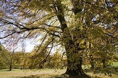 La calce enorme in autunno Immagini Stock