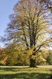 La calce enorme in autunno Fotografia Stock