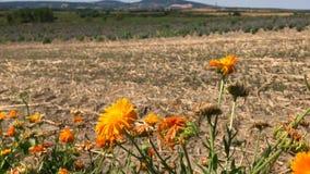 La calendula fiorisce con i campi e le colline asciutti nel fondo archivi video