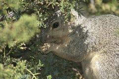 La Californie Gray Squirrel mangeant sur une branche dans le pin à feuilles persistantes photos libres de droits