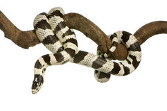 La Californie Kingsnake Image stock