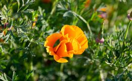 La Californie rayonnante Poppy Bloom images libres de droits