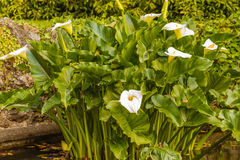 la calla bianca acquatic conosciuta come il aethiopica di zantedeschia immagine stock