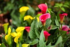 La calla rosa e gialla fiorisce in fioritura su esposizione al mercato del fiore degli agricoltori immagini stock