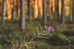 La calma y Sunny Summer Day en el bosque, con Sun brillando a través de los árboles aislaron la flor en primero plano y árboles b foto de archivo libre de regalías