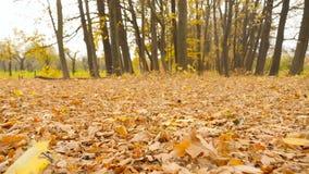 La caméra subjective avance par nature de forêt d'automne la belle Feuilles de jaune autour Mouvement lent banque de vidéos