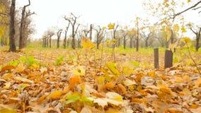 La caméra subjective se déplace par les feuilles jaunes de forêt d'automne Mouvement lent banque de vidéos