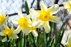 La cama de flor con el narciso amarillo florece la floración en la primavera, flores de la primavera, florales, primaveras Imagenes de archivo