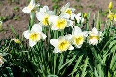 La cama de flor con el narciso amarillo florece la floración en la primavera, flores de la primavera, florales, primaveras Fotografía de archivo