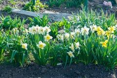 La cama de flor con el narciso amarillo florece la floración en la primavera, flores de la primavera, florales, primaveras Imagen de archivo
