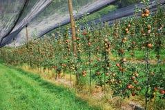 La cama de la plantación de la manzana Fotografía de archivo libre de regalías
