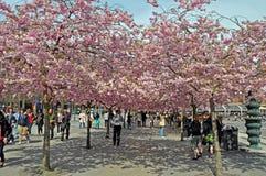 La camminata della ciliegia Immagine Stock
