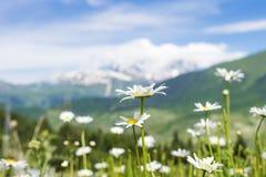 La camomilla bianca fiorisce sul prato verde sulla collina su fondo vago delle montagne nevose nel chiaro giorno di estate solegg Immagini Stock Libere da Diritti