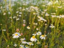 la camomilla del prato fiorisce il fiore all'aperto di luce solare del giorno di estate delle foglie verdi Immagini Stock Libere da Diritti