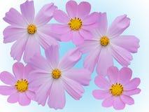 La camomilla fiorisce decorativo Fotografia Stock