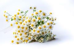 La camomilla fiorisce il mazzo su fondo bianco Fotografie Stock