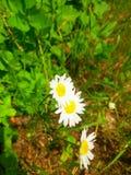 La camomilla fiorisce il medium Fotografia Stock Libera da Diritti