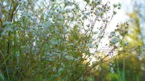La camomilla fiorisce la natura stock footage