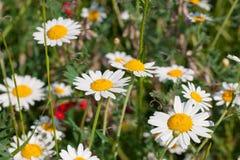 La camomilla sboccia fiori selvaggi della sorgente Fotografia Stock