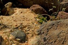 La camomilla si sviluppa in una torrente montano Fotografia Stock