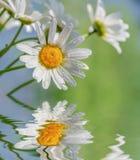 La camomille fleurit contre le ciel bleu reflété dans une eau photos stock