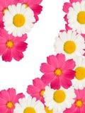 La camomille fleurit décoratif Images stock