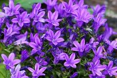 La campánula de paredes o de la flor del bellflower es un perennial Foto de archivo libre de regalías