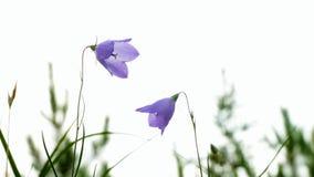 La campánula púrpura florece, rotundifolia de la campánula, primer almacen de video