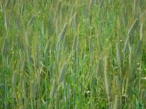 La campagna del campo consiste dell'erba e delle spighe del granoturco verdi Fotografia Stock