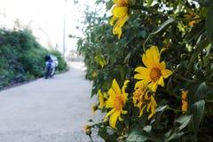 La campagne vietnamienne avec la fleur sauvage de tournesol en jaune le long de rue, Dalat est ville pour le voyage, avec le pays image stock