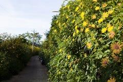 La campagne vietnamienne avec la fleur sauvage de tournesol en jaune le long de rue, Dalat est ville pour le voyage, avec le pays images libres de droits