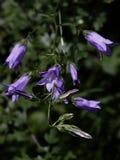 La campanilla florece la colección Fotos de archivo