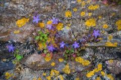 La campanula di campanule in giardino di rocce, si sviluppa selvaggia su una parete immagini stock