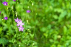 La campanula di fioritura fiorisce il fiore della campanula nel campo sul riassunto Fotografie Stock