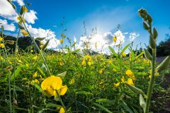 La canapa delle indie del primo piano, Chanvre indien, blo giallo di crotalaria juncea immagini stock