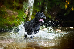 La canna Corso del cane funziona nell'acqua Fotografia Stock