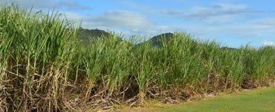 La canna da zucchero si sviluppa in un'azienda agricola Fotografie Stock Libere da Diritti
