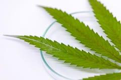 La cannabis droga, l'analisi della cannabis in laboratorio fotografia stock libera da diritti