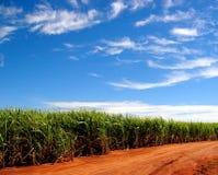 La canne à sucre met en place pour toujours Photographie stock libre de droits