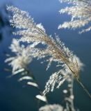 la canne bleue fleurit le ciel de fleuve Photos stock