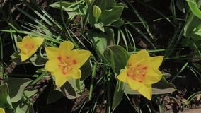 La cantidad de las flores amarillas coloridas hermosas de los tulipanes florece en jard?n de la primavera Flor decorativo de la f almacen de video