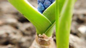 La cantidad de las flores azules hermosas del Muscari florece en jard?n de la primavera