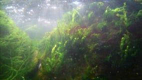 La cantidad del submarino del Mar Negro, tubo respirador en zona litoral, ondas mueve las algas ricas que crecen en piedras con l almacen de video