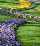 La cantidad grande de azafranes púrpuras y amarillas que crecen en parque Foto de archivo