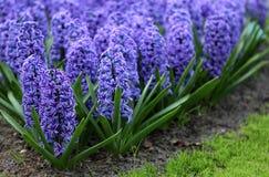 La cantidad grande de los jacintos azules púrpuras imagen de archivo libre de regalías