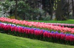 La cantidad grande de los jacintos rosados azules púrpuras foto de archivo