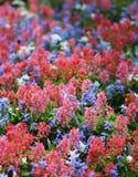 La cantidad grande de los jacintos rosados púrpuras imagen de archivo libre de regalías