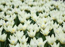 La cantidad grande de los tulipanes coloridos en la primavera Foto de archivo